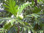 800px-Starr_031209-0031_Artocarpus_altilis